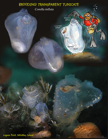Tunicates & Sponges, clams etc