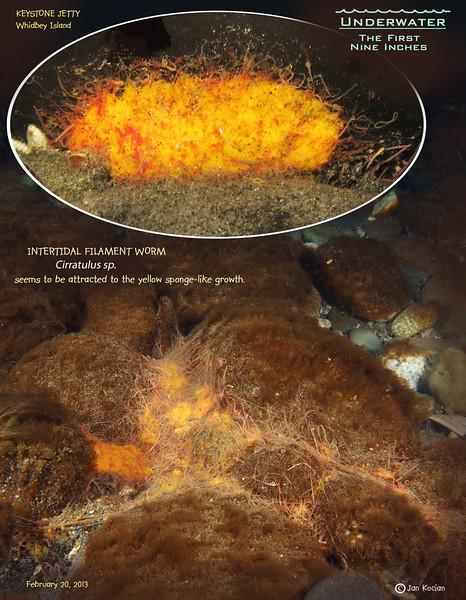 INTERTIDAL FILAMENT WORM( Cirratulus sp.). Keystone Jetty, Whidbey Island. February 20, 2013