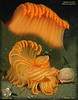 Orange Sea Pen. The beautiful animal is about to become a meal for Striped nudibranchs.<br /> Possession Beach, December 1, 2009