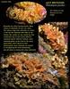 Lacy Bryozoan