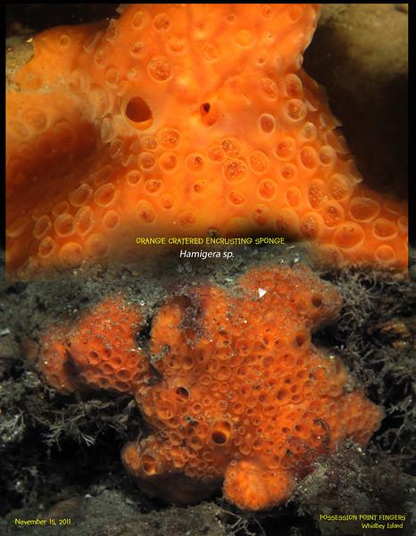 ORANGE CRATERED ENCRUSTING SPONGE( Hamigera sp. ).  Possession Point Fingers, Whidbey Island. November 15, 2011