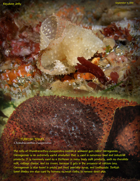 TURKISH TOWEL(Chondracanthus exasperatus)<br /> Keystone Jetty, Whidbey Island. September 4, 2010