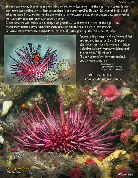 RED SEA URCHIN  ( Strogylocentrotus franciscanus ). Deception Pass, Whidbey Island. October 24, 2012