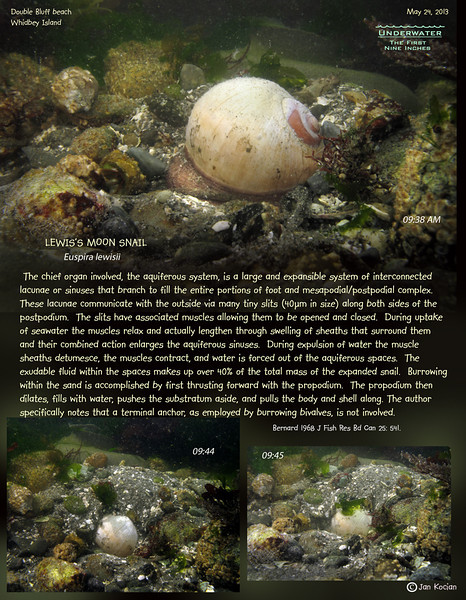 LEWIS'S MOON SNAIL ( Euspira lewisii ). Double Bluff beach, Whidbey Island.  May 24, 2013