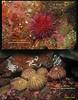 RED SEA URCHIN( Strogylocentrotus franciscanus ), GREEN SEA URCHINs( Strogylocentrotus droebachiensis ).<br /> Keystone Jetty, Whidbey Island. March 31, 2011