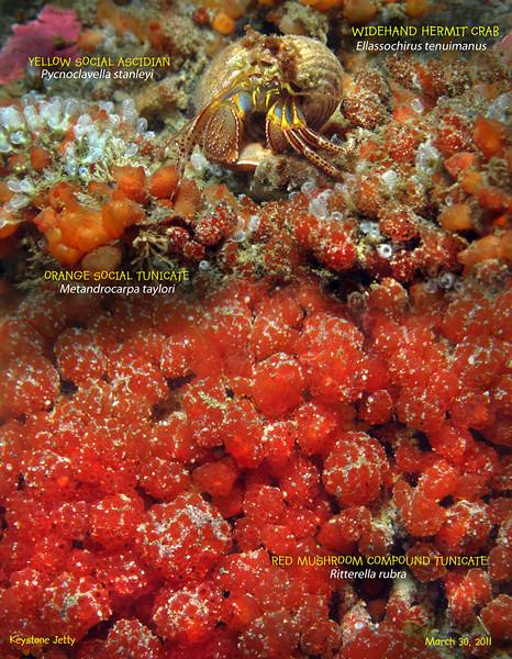 RED MUSHROOM COMPOUND TUNICATE   ( Ritterella rubra ), Keystone Jetty. Whidbey Island, March 28, 2011