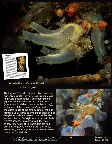 Back in October 2010 I helped in collecting teh invasive tunicate CIONA SAVIGNYI for a study by the University of Washington.<br /> Paper got published - Lagoon Point, Whidbey Island, one of many collecting stations.
