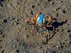 Soldier Crab (2)