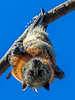 Fruit Bat - Flying Fox