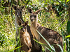 Eastern Grey Kangoroo Mob