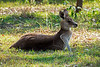 Eastern Grey Kangoroo (1)