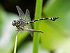Australian Tiger Dragonfly