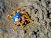 Soldier Crab (3)