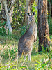 Eastern Grey Kangoroo (4)