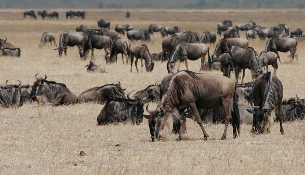 Wildebeest in the Ngorogoro Crater, Tanzania