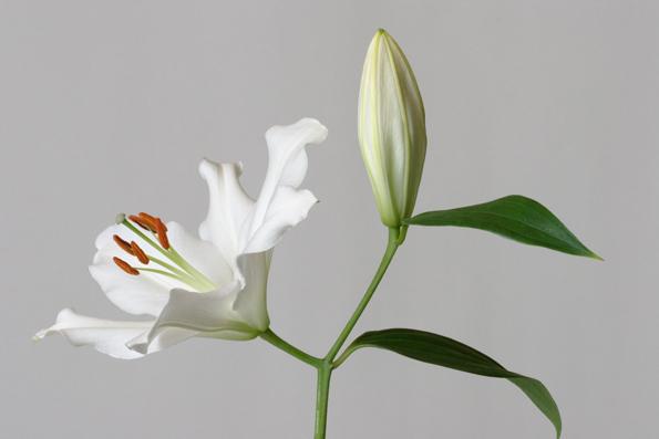White oriental lily, lilium
