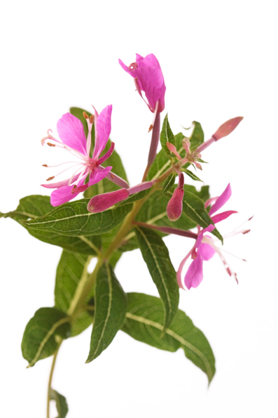 Rosebay willowherb, Epilobium angustifolium