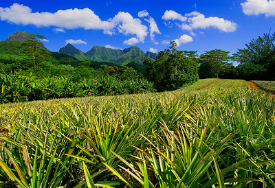 Pineapple Field Moreaa 13x19