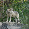 Wish I would have seen him in the wild, but this wolf was at the International Wolf Center, in Ely, Minnesota.