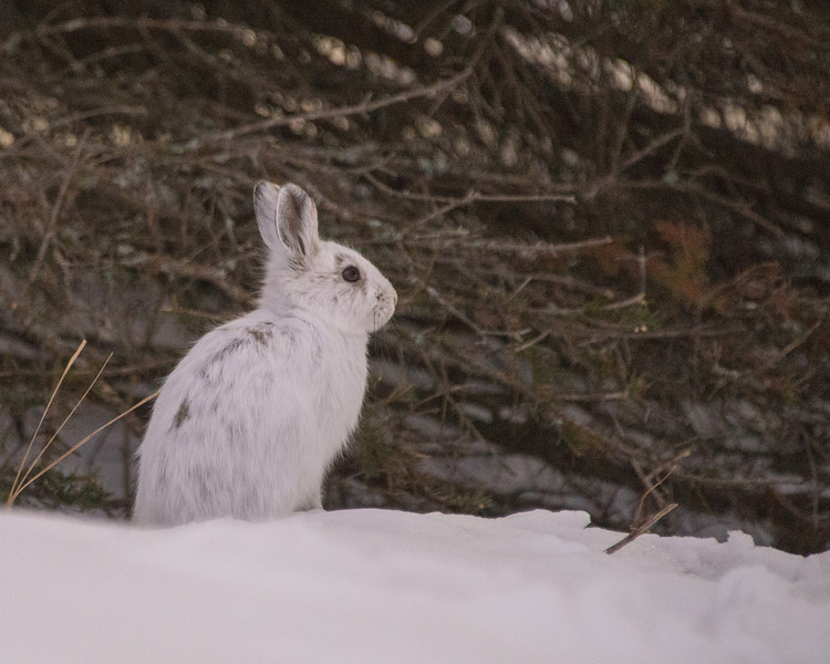 This Snowshoe Hare was caught sitting on a snowbank at Sugarloaf Cove Nature Center near Tofte, MN.