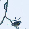 Yellowq-rumped Warbler