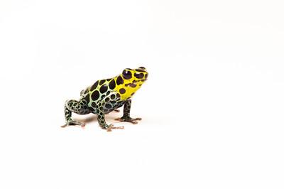 The mimic poison frog (Ranitomeya imitator), a thumbnail poison frog found in Peru
