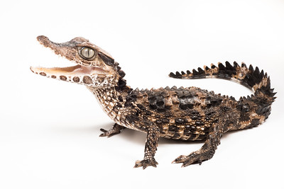 The smooth fronted caiman (Paleosuchus trigonatus), the 2nd smallest species of the crocodilians.