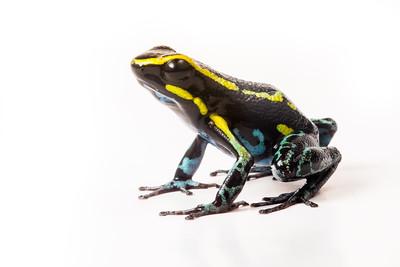 The sky blue poison frog (Hyloxalus azureiventris) an endangered poison frog from Peru.