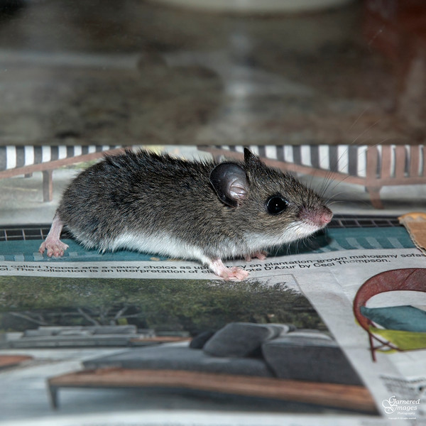 April 30, 2016:  This latest corralled rodent is smaller and different than the others we've caught here. It's a house mouse; the others are deer mice.