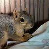 November 11, 2016:  Unbelievably, this is a 4-month old fox squirrel.  She is not bigger than most shortly after they open their eyes at 5 weeks old.
