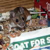 April 26, 2016:  I thought one of the deer mice looked pregnant; she was pretty restless around the 22nd and apparently did give birth.  In her haste to get to the evening treats, she accidentally dragged a nursing pup into view.  Shocked the you-know-what out of me when I realized what it was!