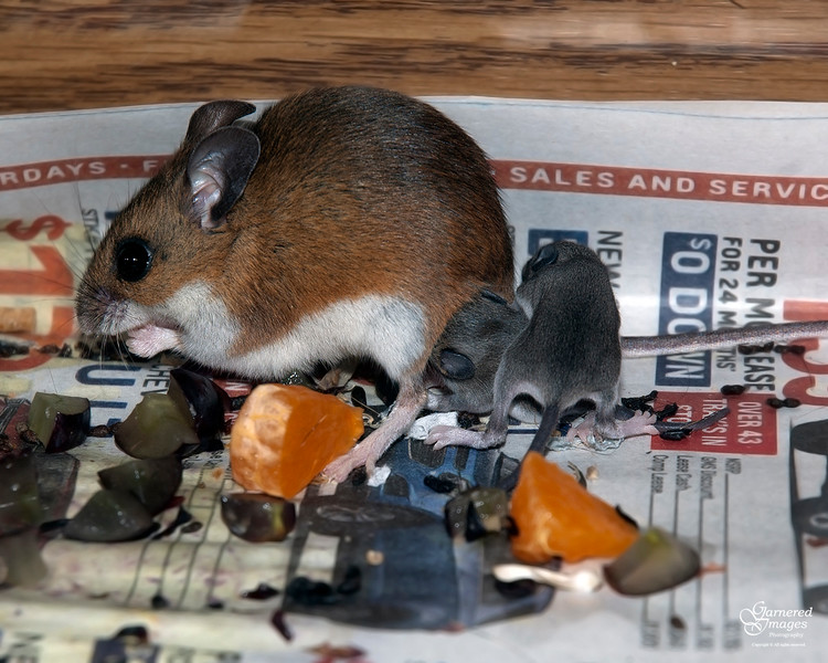 May 4, 2016:  No peace for mother deer mouse.