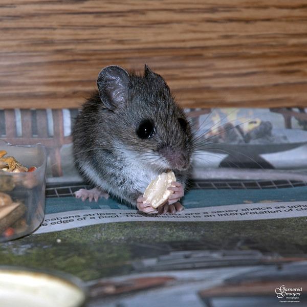 April 30, 2016:  Little Miss Mouseguest munches on a morsel.