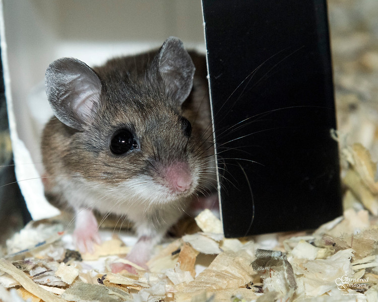 March 12, 2018:  Workbench deer mouse was live-trapped and put into its own condo until spring release with the others.  It wasn't really very upset about it.