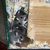 March 11, 2018:  A pile of deer mouse pups.