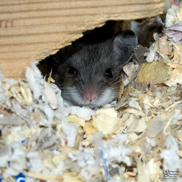 March 13, 2018:  A kid from the first litter of deer mice sleepily watches me.
