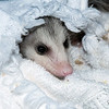 July 8, 2018:  Sweet little Polly Opossum has come to finish her growing up here at A Squirrel's Tale.