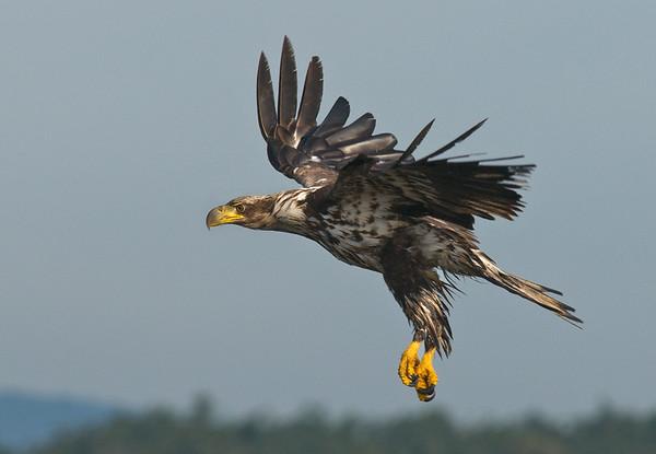 Bald Eagle (Hallaeetus leucocephalus)