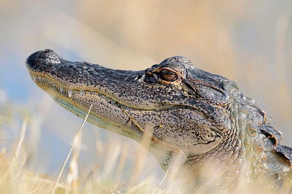 Mississippi-Alligator | American Alligator