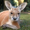 A young red kangaroo at Australia Zoo in Queensland. Note deformity in lips area.