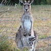 Wild kangaroo and joey in Queensland, Australia