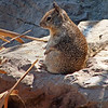 Callifornia Ground Squirrel