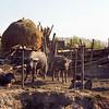 Water buffalo- Phuoc Vinh, Vietnam