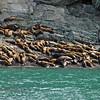 Steller Sea Lions, AK
