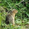 Ground Squirrel, Denali Park, AK