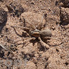 Lycosa species (Wolf Spider)