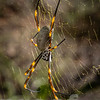 Golden Orb Weaver (Nephila plumipes)