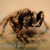 Hairy Jumping Spider (Servaea vestita)