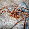 Brown Huntsman Spider (Heteropoda jugulans)