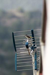 Bergeronnette des ruisseaux - Motacilla cinerea canariensis - Grey Wagtail